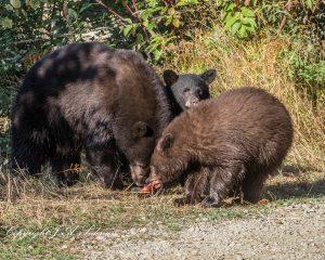 Black Bear Dinner